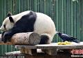 Ворона и панда в пекинском зоопарке