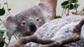 Бельгийский зоопарк показал пополнение - слоненка и коалу