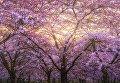 В Амстердаме цветущая вишня очаровывает туристов