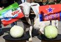 Выборы козы-предсказательницы к ЧМ-2018 по футболу
