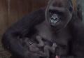 Видео редкой гориллы и ее детеныша умилило сеть. Видео