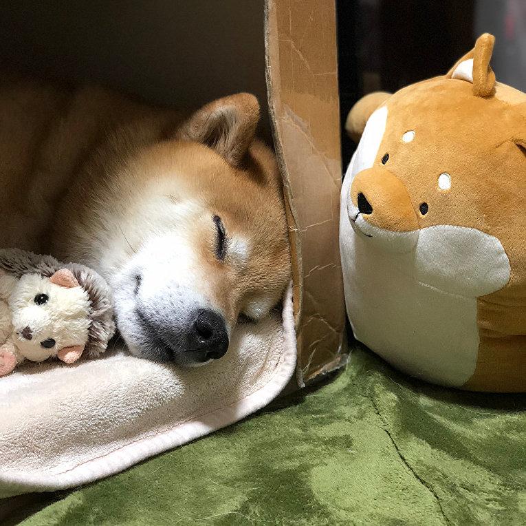 Пес Марутаро породы Шиба-ину