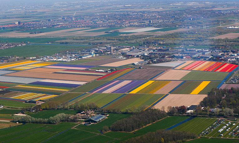 Цветущие поля в Голландии