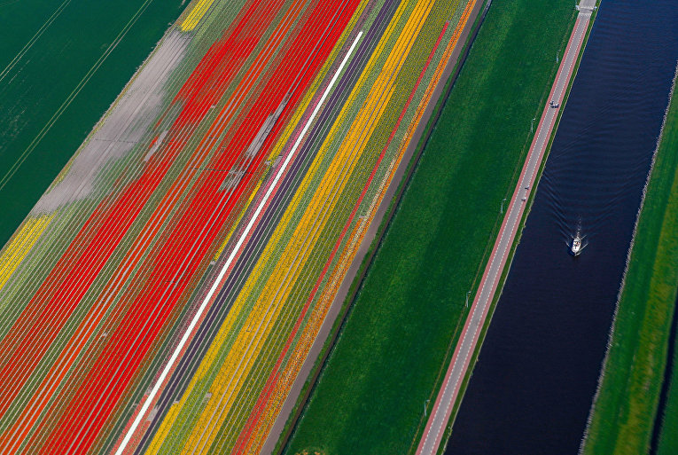 Цветущие поля в Голландиии