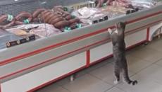 Кот покупает мясо и колбасу