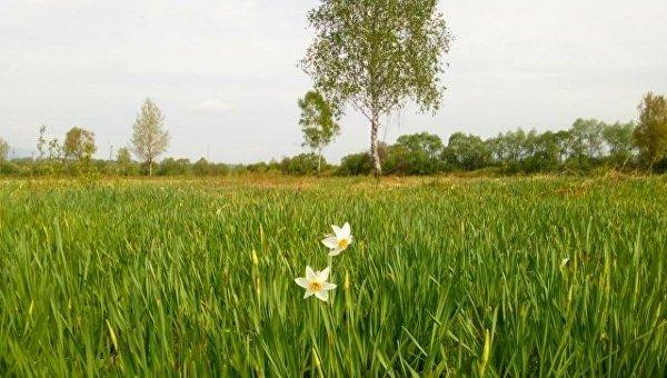 Началось цветение в Долине нарциссов в Закарпатье