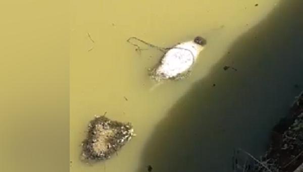 Мертвые свиньи в воде