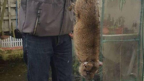 Жителей английского города терроризируют скопления гигантских крыс
