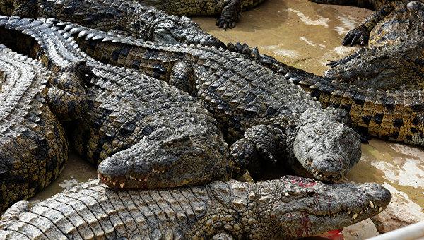 Крокодиловая ферма. Архивное фото