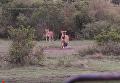 Любопытная львица украла камеру у съемочной группы. Видео