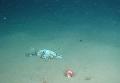На дне Марианской впадины нашли пластиковый пакет