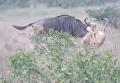 Антилопа дала бой львицам и освободилась. Видео
