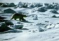 Белый медведь в заповеднике Остров Врангеля
