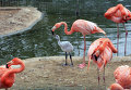 Фламинго. Архивное фото