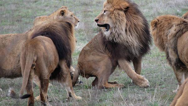 Львы в сафари-парке
