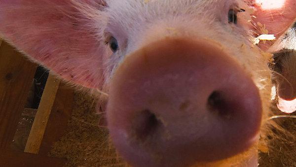 ВХерсонской области произошла новая вспышка чумы свиней