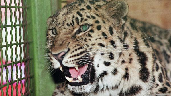 Леопард в зоопарке. Архивное фото
