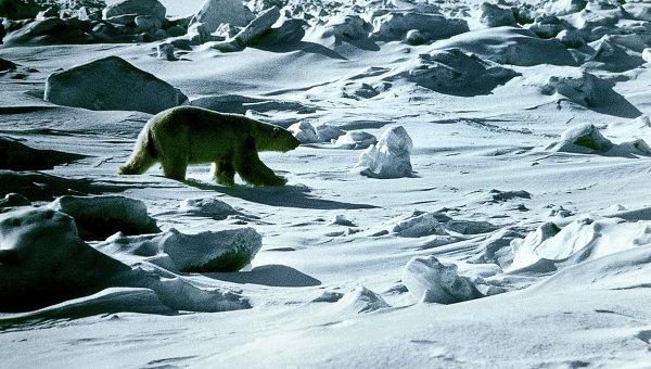 Белый медведь в заповеднике Остров Врангеля в РФ. Архивное фото