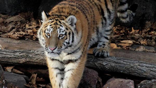 Тигриный парк открылся в Приморье