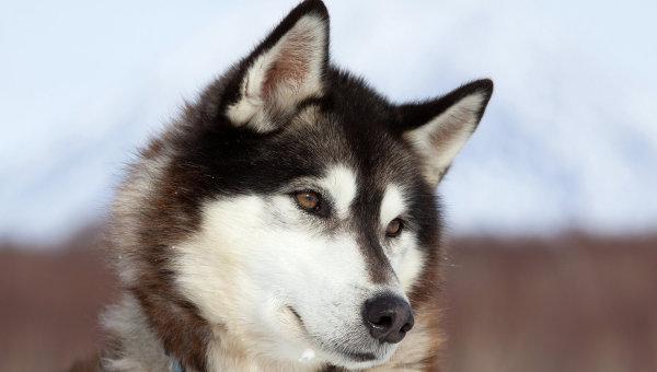 Собака породы лайка.