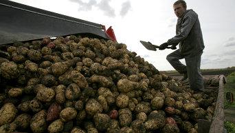 Уборка картофеля. Архивное фото