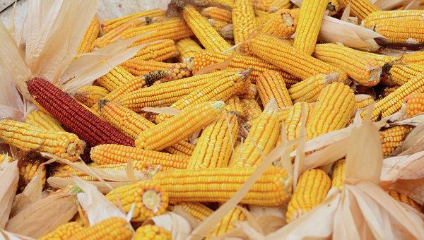 Кукуруза. Архивное фото