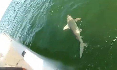 Гигантский окунь проглотил акулу. Видео