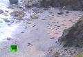 Десятки мертвых тюленей найдены на побережье Англии. Видео