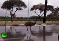 Австралийский эму вызвал переполох на улицах израильского города. Видео