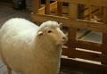 Новая услуга в южнокорейском кафе - погладить овцу. Видео