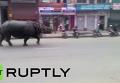 Сбежавший из заказника в центре Непала носорог убил одного и ранил шестерых человек