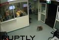 В Австралии любопытная коала проникла в больницу