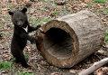 Детеныш гималайского медведя, оставшийся без родителей, ставших жертвами браконьеров. Местные жители, нашедшие медвежат привозят их в Сафари-парк Приморья.