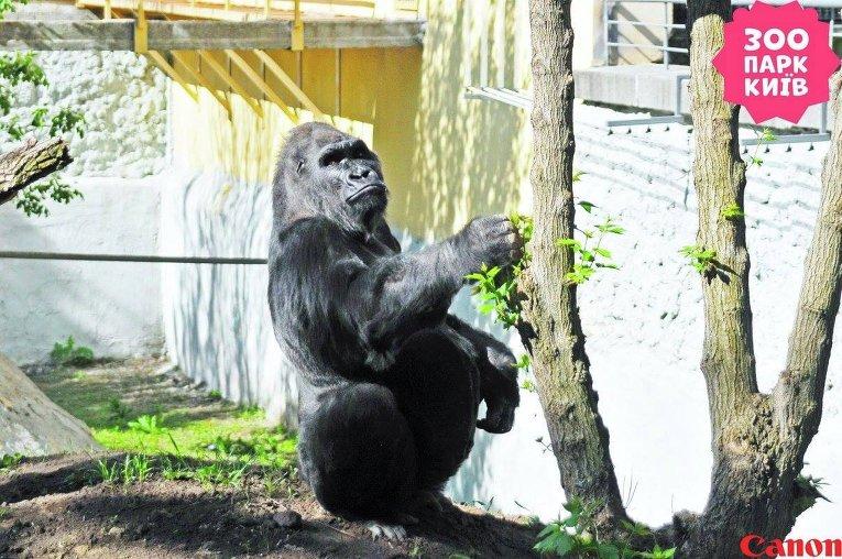 Горилла Тони в Киевском зоопарке