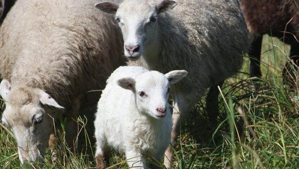 Ученые научились пофото распознавать боль и тоска намордах овец
