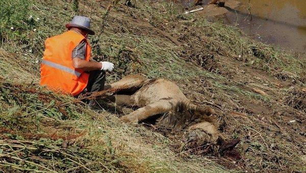 Рабочий возле тела погибшего льва во время наводнения в Тбилиси