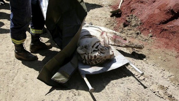 Тигр, убитый в Тбилиси