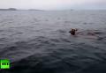 Заплыв оленя через Амур. Видео