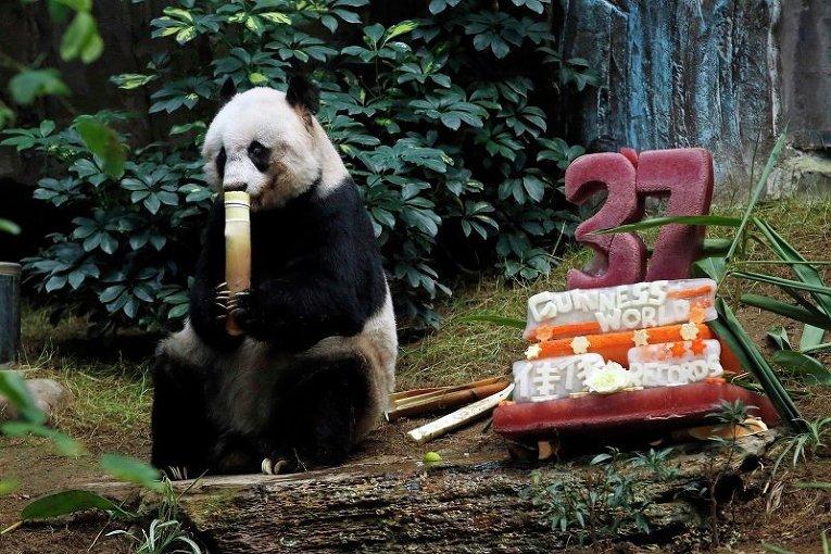Гигантская панда Jia Jia, которая празднует своей день рождения в Оушен Парк (Гонконг). К 37 годам для панды приготовили праздничный торт из льда и овощей. Jia Jia стала самой долгоживущей пандой в неволе