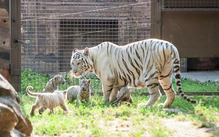 День тигра: жизнь полосатых хищников