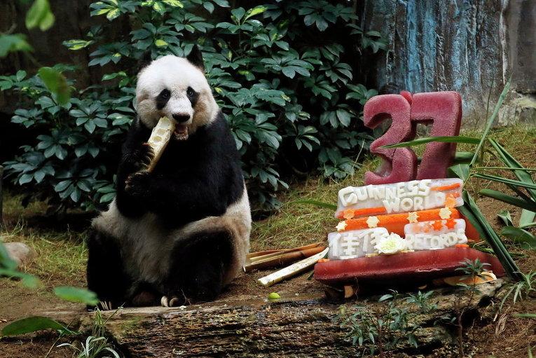 Гигантская панда Цзя Цзя ест бамбук рядом с ее тортом из льда и овощей в Ocean Park в Гонконге