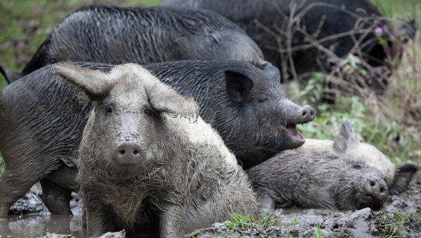 Свиньи