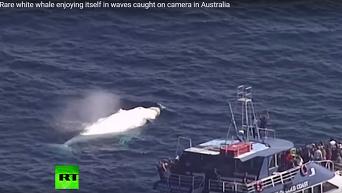 У берегов Австралии заметили горбатого кита-альбиноса
