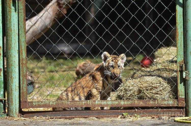 Тигрята в Киевском зоопарке