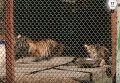 В Киевский зоопарк вернули двух тигрят, которых ранее отлучили от матери