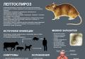 Причины, симптомы и лечение лептоспироза. Инфографика