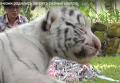 У белой тигрицы в Индонезии родились тигрята разных цветов