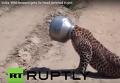 Леопард застрял в железной кастрюле