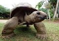 Гигантская черепаха. Архивное фото