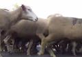 Тысячи овец заполонили центр Мадрида. Видео